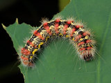 A Smartweed Caterpillar, Acronicta Oblinita, Feeding on a Lotus Leaf Photographic Print by George Grall