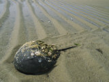 Horseshoe Crab Encrusted with Barnacles and Jingle Shells on Beach Photographic Print by Darlyne A. Murawski