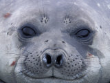 Southern Elephant Seal Yearling, South Georgia Island, Antarctica Photographic Print by Hugh Rose