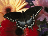 A Spicebush Swallowtail Butterfly Resting on Colorful Gerbera Daisies Photographic Print by Darlyne A. Murawski