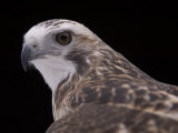 A Close-up of a Krider's Red-Tailed Hawk Photographic Print by Joel Sartore