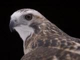 A Close-up of a Krider's Red-Tailed Hawk Stampa fotografica di Sartore, Joel