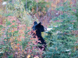 A Black Bear Looks Out of a Field While Hunting for Food Photographie par Taylor S. Kennedy