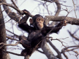 Young Male Chimpanzee, Gombe National Park, Tanzania Photographic Print by Kristin Mosher