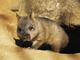 A Juvenile Southern Hairy-Nosed Wombat Emerging from Its Burrow; the Wombat is Seven Months Old Photographic Print by Jason Edwards