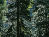 Sunlight Reflected by Morning Dew on Pine Trees Photographic Print by Taylor S. Kennedy
