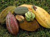 Varieties of Cocoa, Ghana, Photographic Print