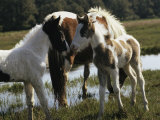 Two Wild Pony Foals Interacting near a Grazing Adult Photographic Print by James L. Stanfield