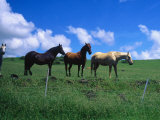 Horses in Field Near Hana, Maui, Hawaii Photographic Print by Mark Polott