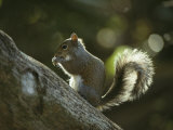 Gray Squirrel Eating a Nut Photographic Print by Klaus Nigge