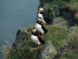 Trio of Atlantic Puffins Perch on a Grass-Covered Cliff Photographic Print by Sisse Brimberg