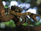Crab with a Bluish Shell Perched on a Tree Branch Photographic Print by Michael Nichols