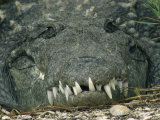 Close View of the Teeth of an American Crocodile Photographic Print by Klaus Nigge