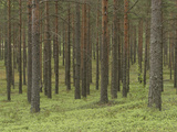 Tall Pine Tree Trunks in the Woods with Green Foliage - Fotografik Baskı