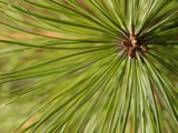 Close-up View of Fresh Green Pine Needles Photographic Print