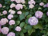 Flores azules y violetas Lámina fotográfica