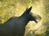 Sunlight Shines on the Cold Breath of a Female Moose Photographic Print by Rich Reid