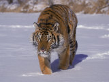 Siberian Tiger in the Snow Photographic Print by Lynn M. Stone