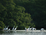 Egrets and Herons Wade in the Water Photographic Print by Klaus Nigge
