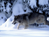 Gray Wolf Walking in the Snow Photographic Print by Lynn M. Stone