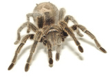 Brown Tarantula Photographic Print