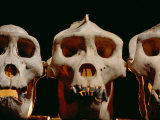 Three Gorilla Skulls Lined up Side-By-Side Photographic Print by Michael Nichols