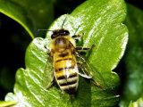 Honey Bee, Apis Mellifera, Photographic Print