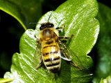 Honey Bee, Apis Mellifera Photographic Print by Larry Jernigan