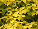 Bright Yellow Fall Leaves Photographic Print