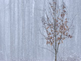 Tree Trunks and Dormant Tree in a Forest Grove in Heavy Snowstorm Photographic Print by Charles Kogod