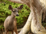 Young Deer in a Grove of Rare Monterey Cypress Trees Photographic Print by Charles Kogod