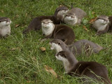 Family of Asian Short-Clawed River Otters Photographic Print by Nicole Duplaix