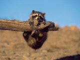 Baby Raccoon, Procyon Lotor, MT Fotografisk trykk av D. Robert Franz