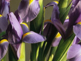 Close View of a Cluster of Domesticated Irises Photographic Print by Marc Moritsch