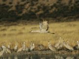 Sandhill Crane Flying Past Others Standing Around Water Photographic Print by Marc Moritsch