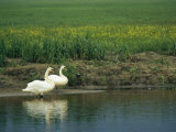 Pair of Mute Swans Standing at Waters Edge Photographic Print by Klaus Nigge