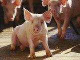 Yorkshire Pigs in Pen, GA Fotodruck von Inga Spence