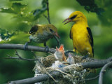 Golden Orioles Feeding Their Nest of Hungry Chicks Photographic Print by Klaus Nigge