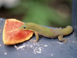 Green Lizard Eating Papaya, Kona, Hawaii Photographic Print by Jacque Denzer Parker