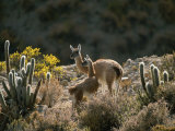 Guanacos at an Altitude of Ten Thousand Feet in the Andes Mountains Photographic Print by Joel Sartore