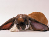 Comical Long Eared Rabbit Photographic Print by John Dominis