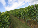 A Large Vinyard with Lush Green Grapevines Under a Bright Sky Photographic Print