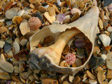 Close View of Surf-Shattered Shell Shards along the Shore Photographic Print by Stephen St. John