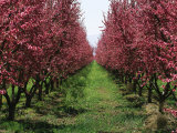 Orchard of Blooming Fruit Trees Photographic Print by Marc Moritsch