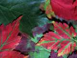 Close-up of Fall Leaves Photographic Print by Pam Ostrow