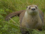 Adult, Female North American River Otter Photographic Print by Nicole Duplaix