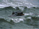 Hippopotamus Peering Out of the Surf Fotografisk tryk af Michael Nichols