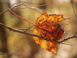 Autumn-Hued Maple Leaf Clinging to a Twig Photographic Print by Charles Kogod