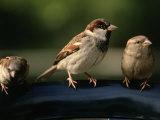 Sparrows, Central Park, NYC Fotografie-Druck von Rudi Von Briel