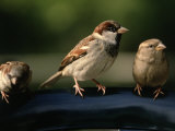 Sparrows, Central Park, NYC Photographic Print by Rudi Von Briel